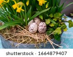 Daffodils With Bulbs In A Large ...
