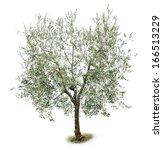 olive tree | Shutterstock . vector #166513229