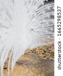 White Peacock S Tail Is Fanned. ...
