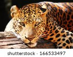 Leopard Panther Resting  Relax...