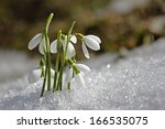 Gentle Snowdrops Flowering Fro...