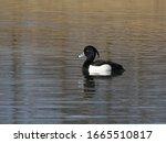 Male Tufted Duck  Aythya...