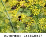 A Bumblebee And Yellow Flowers...