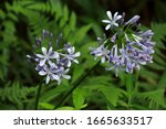 Agapanthus Africanus Lily Of...