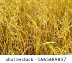 Mature Harvest Golden Rice Cro...