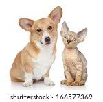 Stock photo portrait of a pembroke welsh corgi and devon rex kitten on white background 166577369