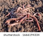 Earthworms in black soil of greenhouse. Macro Brandling, panfish, trout, tiger, red wiggler, Eisenia fetida.Garden compost and worms recycling plant waste into rich soil improver and fertilizer
