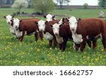 Young Hereford Herd Of Cattle...