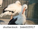 A Pair Of Storks Leaving Into...