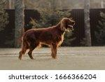 Beautiful Irish Setter Dog...