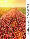 Highland Field Of Red Chillies...