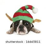 a boston terrier with a christmas hat on - stock photo