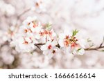 Background Of Almond Blossoms...