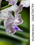 "Small photo of Flower – Orchid Flora Display. ""Vanda Norgard GEM"" Vanda Thanantess × Vanda tessellata"