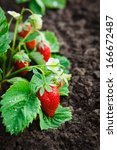Strawberry Bush Grow In Garden