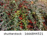 Bright Red Berries Of Bearberr...