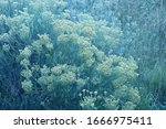 Close View Of Currybush With...