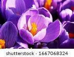 Purple Crocus Flower From A Top ...