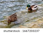 Ducks look for food in the river