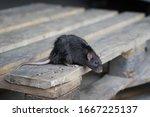 Norway Rat  Rattus Norvegicus ...