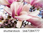 Pink Blooming Magnolia Tree In...