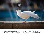 White Beautiful Dove Washing...