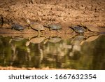 Small photo of Serrated hinged terrapins languishing on a mud bank on the edge of a waterhole. As the sun dries the mud on their backs they appear to change colour.