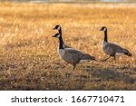 Canada Goose Standing And Aler...
