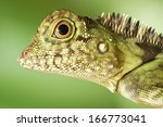 Small photo of Borneo Anglehead Agamid, Borneo, Malaysia