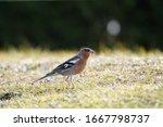 A Chaffinch Male  Fringilla...