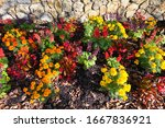 A Patch Of Marigolds In A...