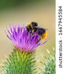 A Male Red Tailed Bumblebee ...