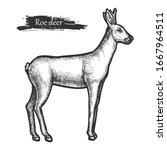 roe deer sketch wild animal ... | Shutterstock .eps vector #1667964511