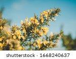 Woodbury Common Gorse Bush In...