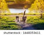 Two Cats Run Across A Green...