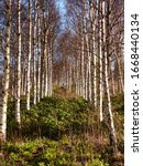 Avenues Of Birch Trees On A...