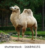 Camel In Zoo