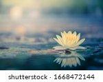 Beautiful  Thai Lotus That Have ...
