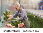 Mature Gardener In Apron Caring ...
