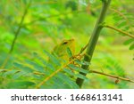 The Green Chameleon ...