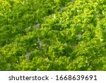 fresh organic green oak lettuce ...   Shutterstock . vector #1668639691