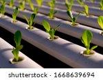 fresh organic green oak lettuce ...   Shutterstock . vector #1668639694