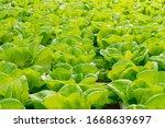 fresh organic green oak lettuce ...   Shutterstock . vector #1668639697