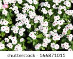 White Periwinkle Flowers In...