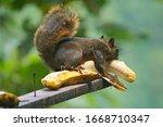 Natural Squirrel Eating Fresh...