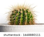Cactus Flower Growing In A...