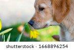Golden Retriever Puppy Sniffing ...