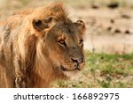 male lion face on the african... | Shutterstock . vector #166892975