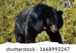 Asian Black Bear  Ursus...