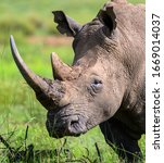 Small photo of Portrait of a lone African rhinoceros bull with his head aloof while pausing from grazing